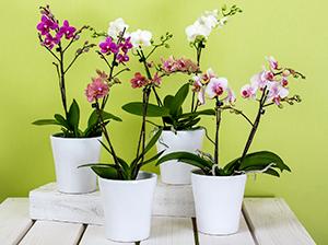 Floristería Yedra Santander Planta Phalaenopsis Orquideas